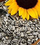 AVI CRAVE Imported Large Size Sunflower Seeds for Gray Parrot,Indian Parrot, Macaw,Cockatoo and Exotic Birds(500 grms)