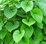 Generic Giloy, Gulvel - Tinospora Cordifolia Live Plant