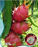 Plantsguru Dragon Fruit plant