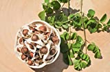 SK ORGANIC Moringa Seeds PKM1 Hybrid Drumstick Seeds (Saijan ki Phalli,Saragavo) 250 gms (More Than 1000 Seeds)